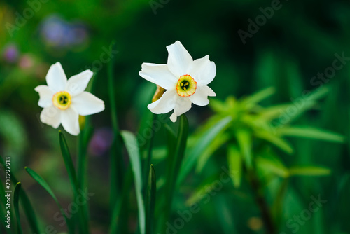 In de dag Narcis Two beautiful white flowers of narcissus with yellow center on green sunlight background close up. Small daffodils in macro with copy space in greenery. Bright sunny backdrop with romantic plants.