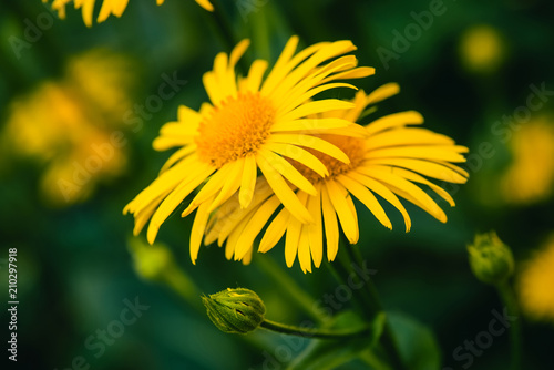 Fotografija  Two beautiful arnica grow in contact close up