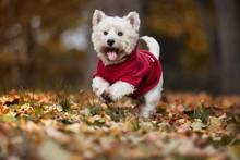 West Highland Terrier Dog Running In Autumn Park