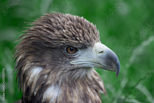 Fotografering  closeup of the head of a hawk on a green background with a clear view of the plu