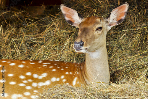 portrait of a young dappled deer Canvas Print