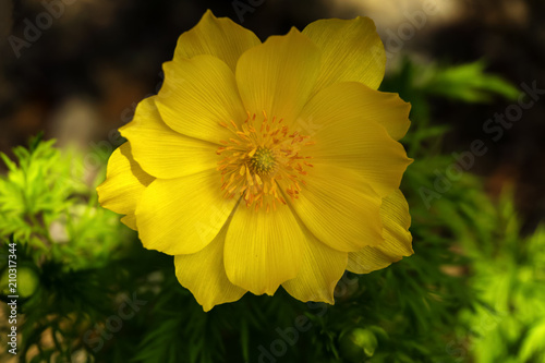 beautiful yellow adonis flower closeup on a blurred shady background Canvas Print