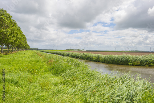 Spoed Foto op Canvas Kanaal Waving reed in the wind along the shore of a canal in summer