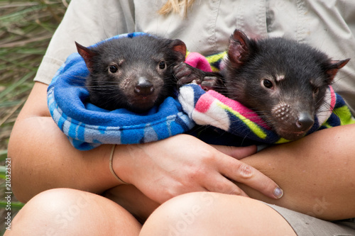 Fotomural Two Tasmanian devil babies handled by a ranger in the zoo.