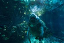 Steller's Sea Cow Swimming In Ocean Between Shoal Of Fish
