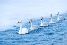 Swans Swimming At Bay