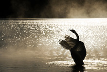 Silhouette Of Swan In Water