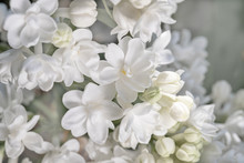 Fresh Blossomed White Lilac Wi...