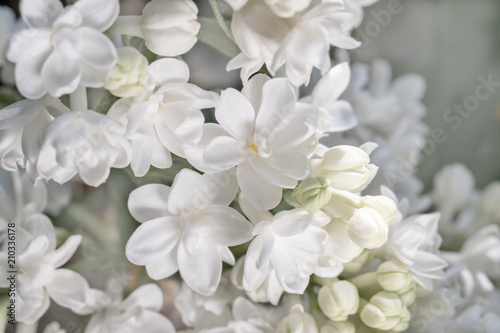 fresh blossomed white lilac with green leaves.