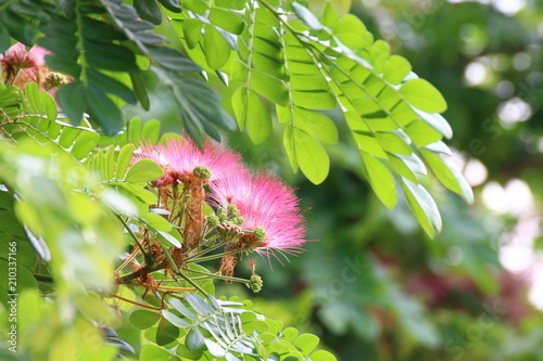 Photo Stands Roe Jaam ju ree flower (Thai word), Albizia lebbeck rain tree Leguminosae, Samanea saman, genus Pithecolobium (Selective focus)