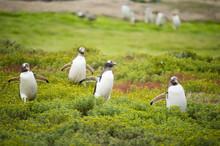 草原を走るジェンツーペンギン