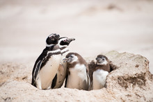 イワトビペンギンのシルエット