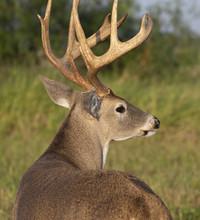 Beautiful White-tail Deer Buck In Texas