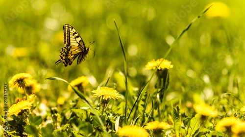 Obraz na plátně Yellow Butterfly above spring meadow and sow-thistle