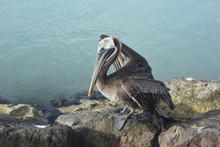 Captivating Pelican Resting On A Large Rock On The Coast