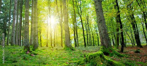 Fototapety, obrazy: Summer forest with sun light.