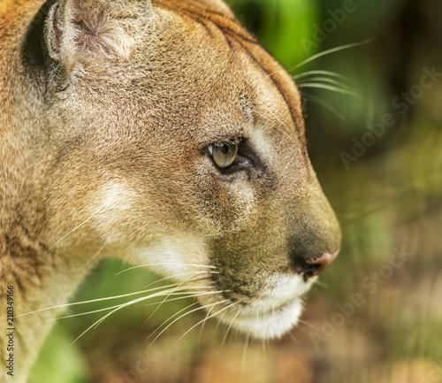 Keuken foto achterwand Puma Puma Cat Portrait