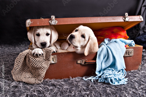 fototapeta na drzwi i meble Two labrador puppies sitting in old vintage suitcase