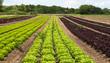 canvas print picture - Salatfeld. Industrielle Landwirtschaft.