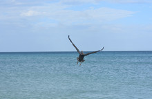 Large Pelican Soaring Over The...