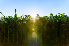 View At Green Maize Field Against Blue Sky With Bright Sun. Agriculture Background
