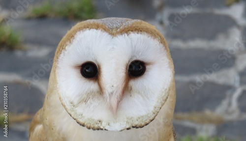 Diurnal Barn Owl Nocturnal Animal Adobe Stock Barn Owl Nocturnal Animal Buy This Stock Photo And Explore