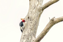Red-headed Woodpecker In Dead Tree At Blackwater National Wildlife Refuge, Cambridge, Maryland