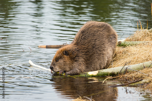 Fotografía beaver eating popular branches on the ponds edge