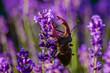 Stag-beetle on lavender flower