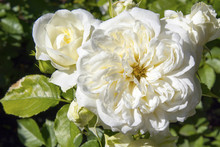The White Rose Bush In The Ros...