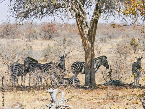 Foto op Canvas Zebra Zebra in Mapungubwe National Park, Africa