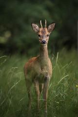Panel Szklany Eko roe deer in a field