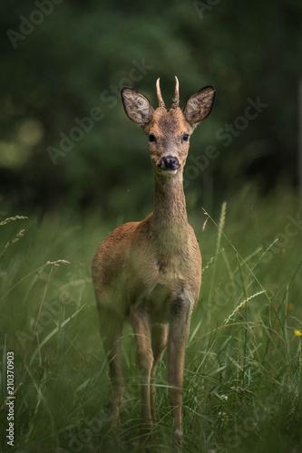 roe deer in a field Wallpaper Mural
