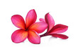 canvas print picture - red frangipani flower isolated white background