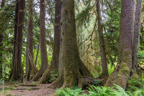 Valokuva  Sitka spruce trees on a nurse log, Olympic National Park