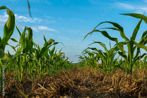 Valokuva Young cornstalks of field corn growing in wheat stubble in a no till condition -