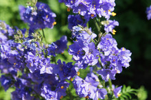 Polemonium Caeruleum Or Jacob's-ladder Or Greek Valerian Blue Flowers