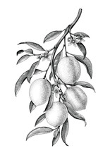 Lemon Branch Illustration Blac...
