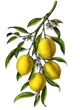Lemon Branch Illustration Vint...