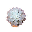 Succulent on white background, Clipping path.