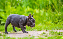 A Young French Bulldog Is Running Through A Garden