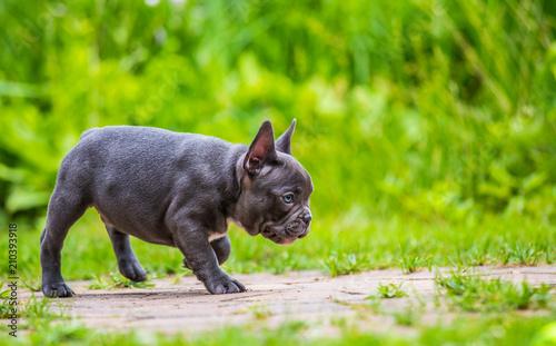 Deurstickers Franse bulldog a young french bulldog is running through a garden