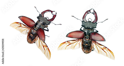 Fotografia, Obraz stag beetle with open wings isolated on white.