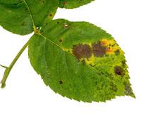 Rose Black Spot, Diplocarpon Rosae. Fungal Problem.