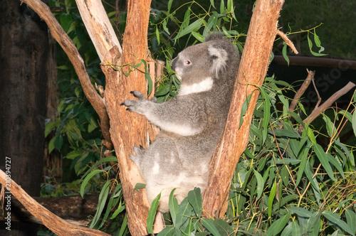 Spoed Foto op Canvas Koala Koala hugs tree