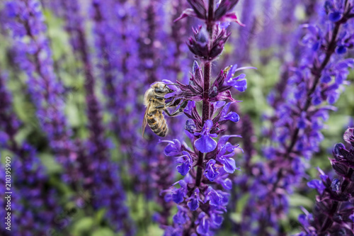 Floral background of blooming catnip with bee