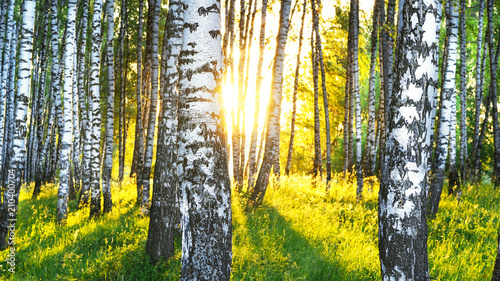 Photo sur Aluminium Foret summer in sunny birch forest