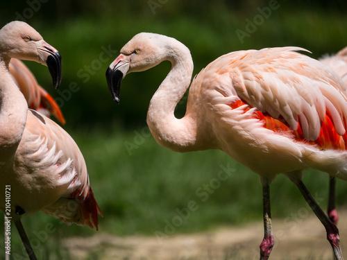 Foto op Aluminium Flamingo Flamants roses