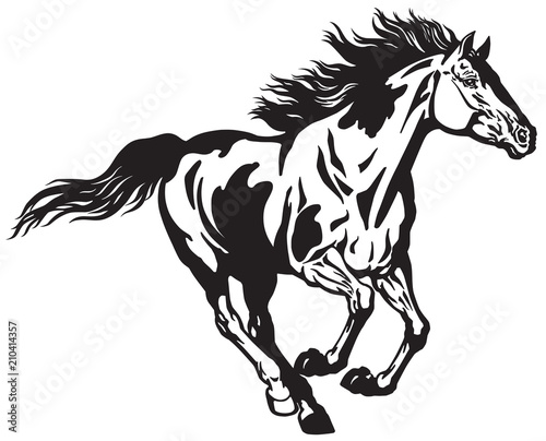 Fototapeta horse running free . Pinto colored wild pony mustang in the gallop . Black and white vector illustration obraz