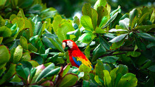 Wild Scarlet Macaw Sitting In ...